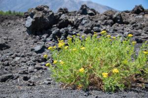 Junge Planzen auf junger Lava