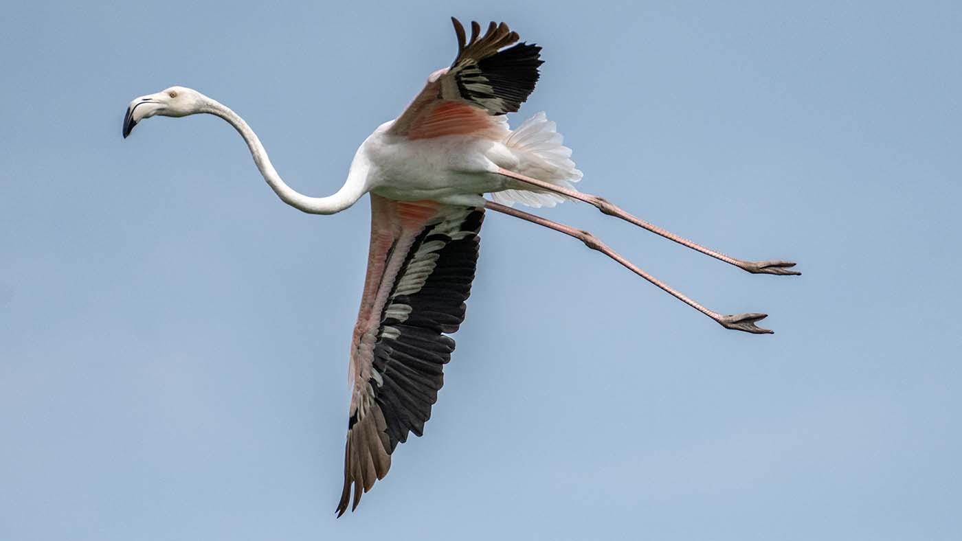 Flamingi im Flug
