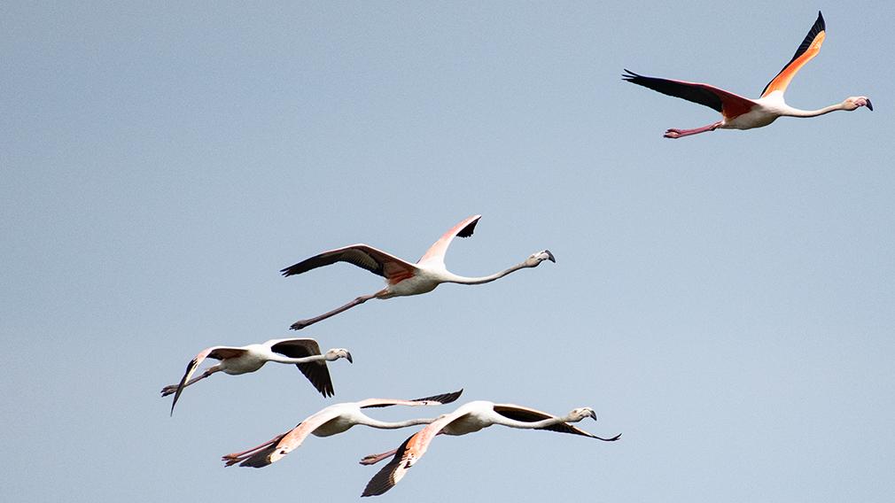 Fliegende Flamingos in der Camargue