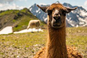 Es gibt viele Lamas die hier in den Bergen frei rumlaufen