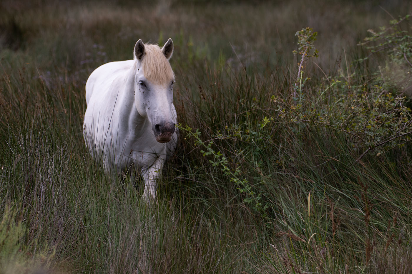 weisse Pferde in der Camargue