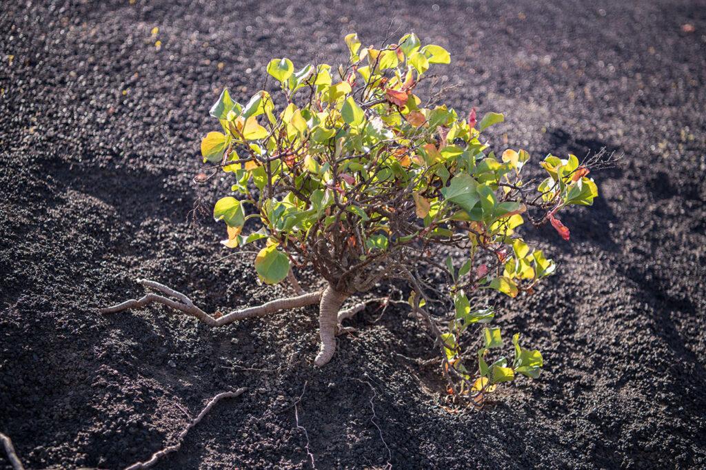 Laneg dauert es, bis nach einem Vulkanausbruch die ersten Pflanzen kommer