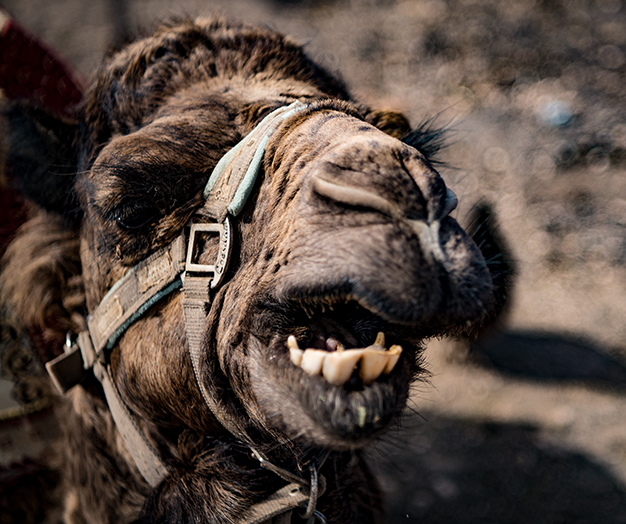 Du kannst eine kameltour durch die Vulkanlandschaft machen