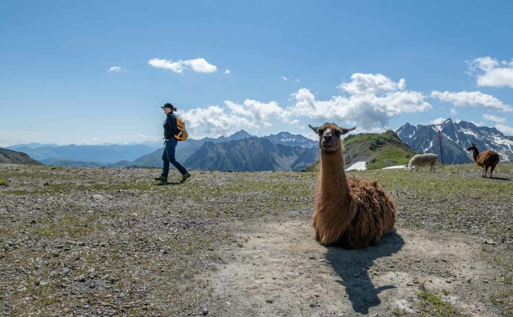 In den Pyrenäen um den Tourmalet gibt es viele Lamas