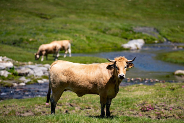 Auch zahlreiche Kühe werden hier gehalten