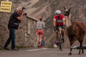 Lamas und radfahrer am col dtourmalet