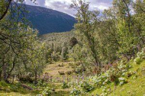 birkenwald im dovrefjell